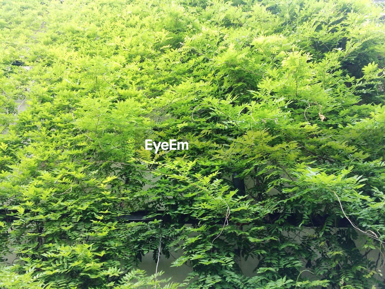 HIGH ANGLE VIEW OF GREEN TREES
