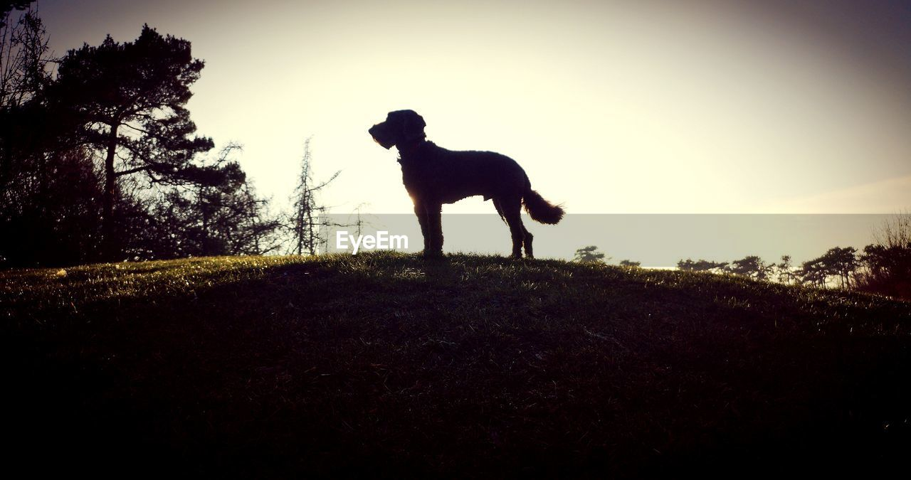 sky, land, one animal, domestic, plant, pets, canine, mammal, dog, field, silhouette, domestic animals, animal themes, animal, tree, nature, vertebrate, full length, grass, landscape, outdoors, herbivorous