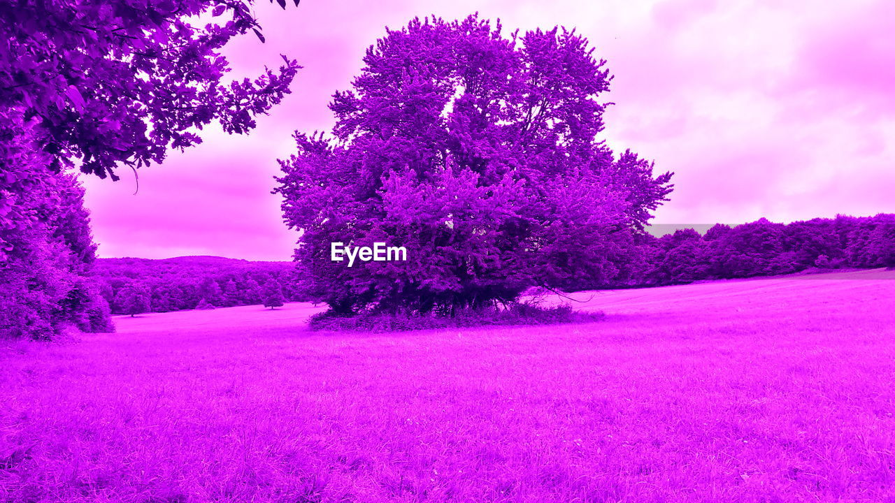 tree, purple, nature, beauty in nature, pink color, scenics, tranquility, tranquil scene, landscape, no people, outdoors, sky, growth, flower, pink, purple color, field, day, branch, snow, freshness