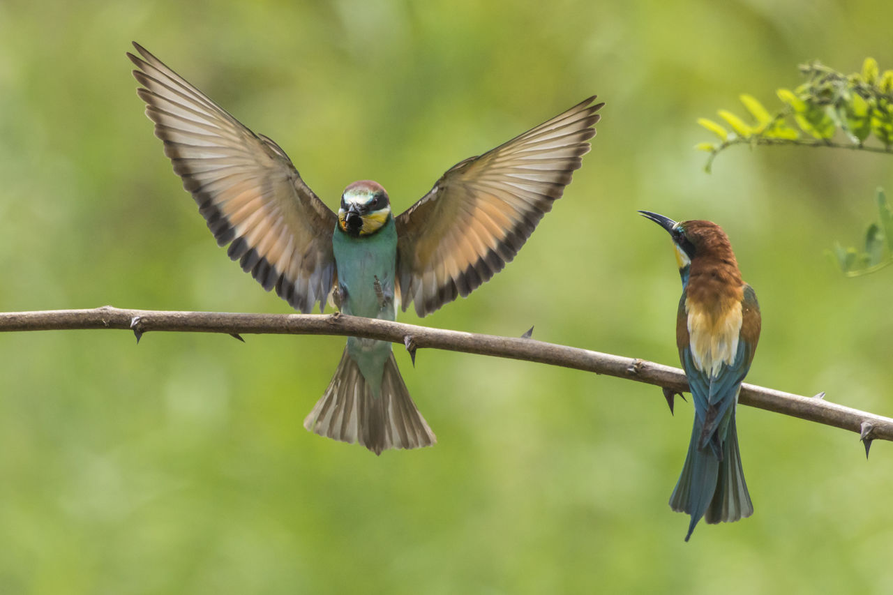 bird, animal wildlife, vertebrate, animals in the wild, animal, animal themes, spread wings, flying, group of animals, focus on foreground, no people, two animals, day, nature, outdoors, close-up, beauty in nature, full length, mid-air, flapping