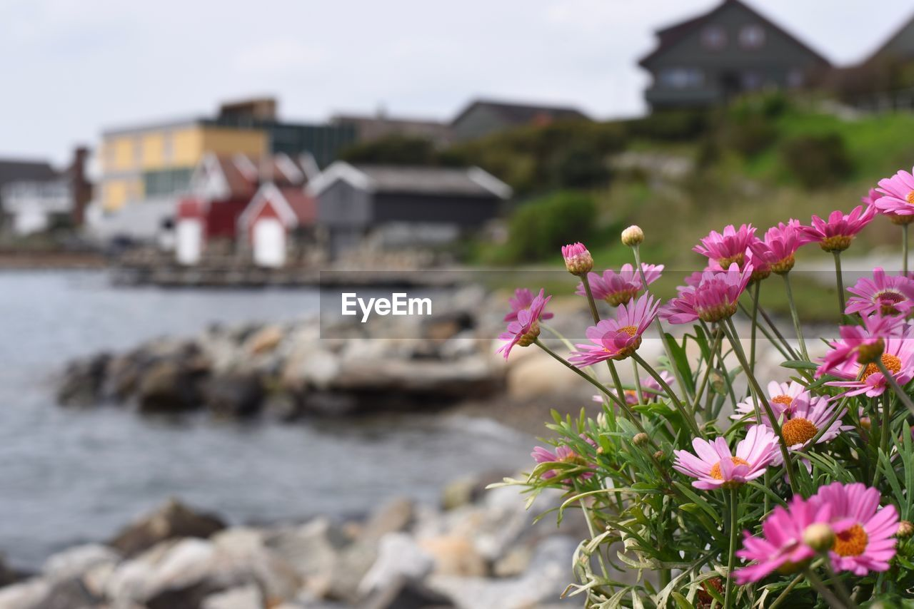 flower, flowering plant, water, built structure, architecture, plant, beauty in nature, building exterior, pink color, nature, freshness, focus on foreground, building, day, rock, no people, house, selective focus, growth, outdoors, flower head