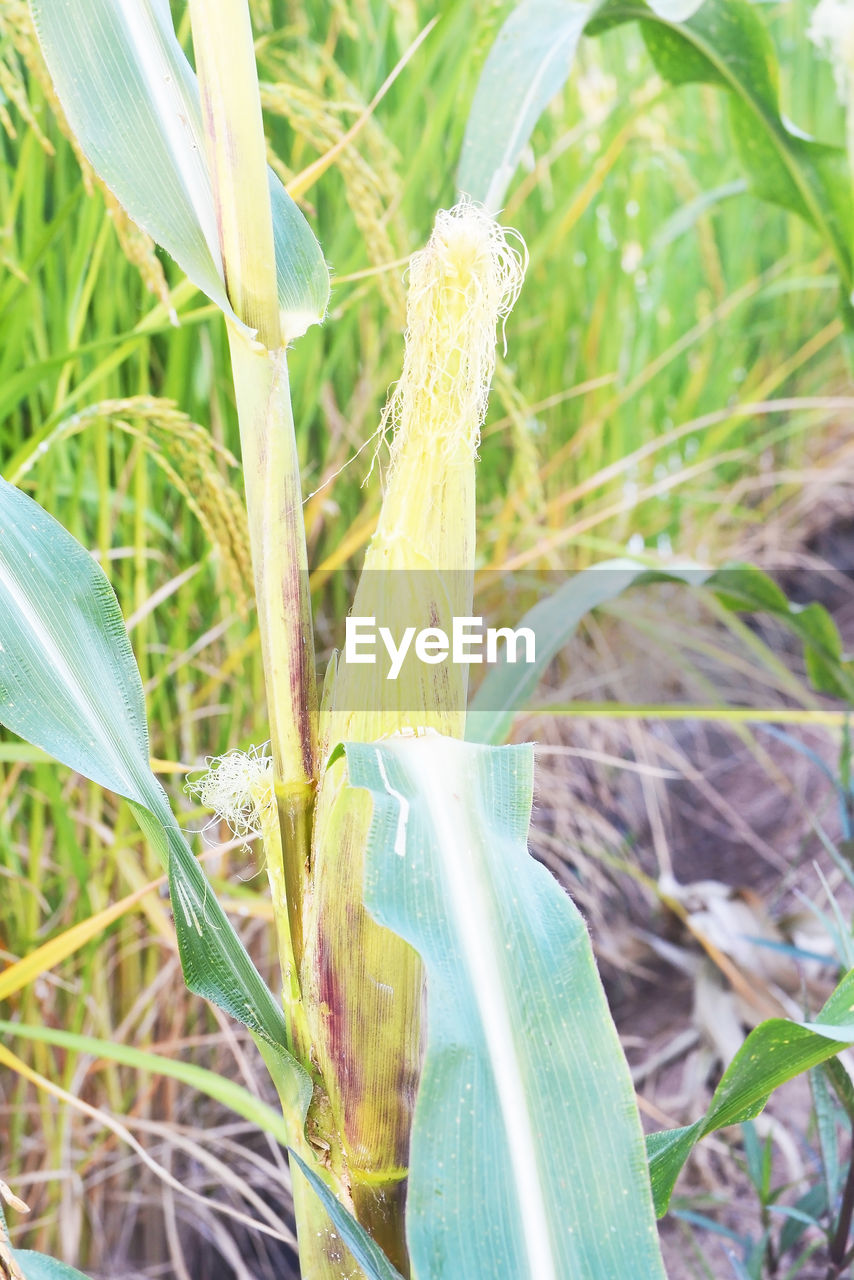 plant, green color, growth, close-up, day, nature, no people, land, grass, field, freshness, outdoors, focus on foreground, food, vegetable, food and drink, agriculture, animal themes, beauty in nature, plant part, blade of grass