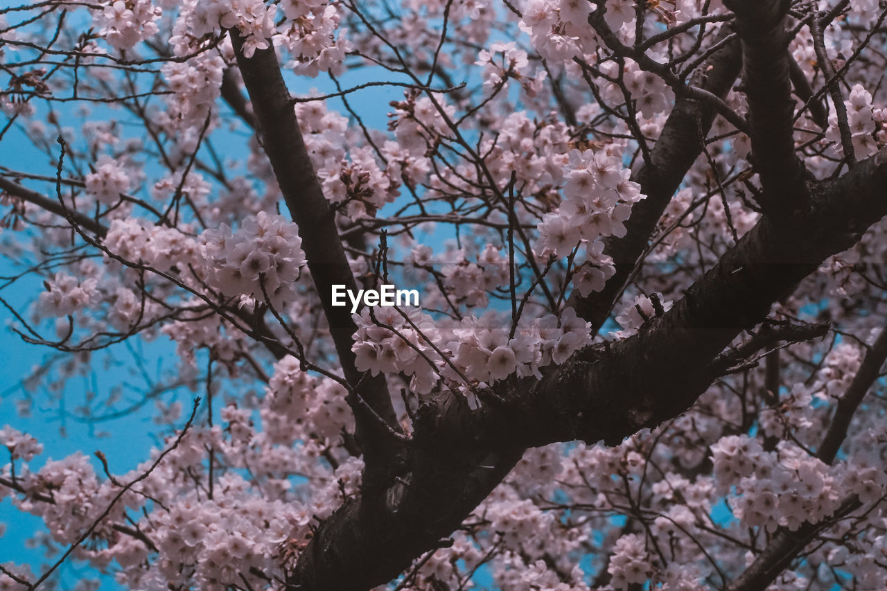 plant, tree, branch, flowering plant, flower, blossom, fragility, vulnerability, springtime, freshness, cherry blossom, growth, beauty in nature, nature, day, low angle view, cherry tree, pink color, no people, close-up, outdoors, plum blossom, flower head, spring