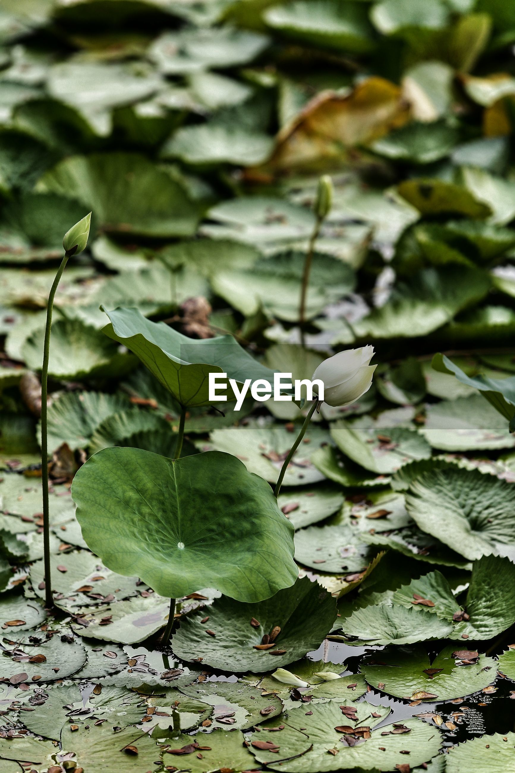 HIGH ANGLE VIEW OF LEAVES ON WATER LILY