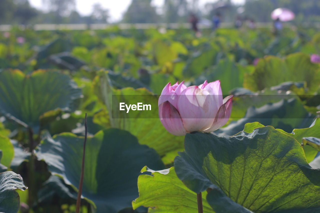 flower, flowering plant, beauty in nature, plant, fragility, vulnerability, petal, growth, freshness, pink color, close-up, inflorescence, flower head, plant part, leaf, nature, focus on foreground, day, rose, green color, no people, outdoors, springtime, lotus water lily