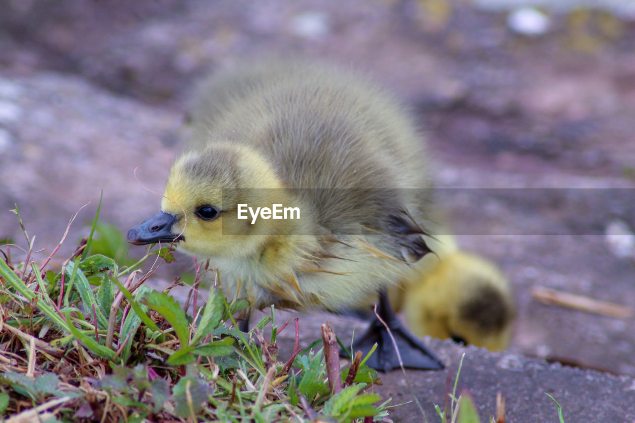 animal themes, animal, young bird, bird, young animal, vertebrate, one animal, yellow, close-up, no people, nature, land, animal wildlife, day, animals in the wild, baby chicken, field, outdoors, focus on foreground, selective focus, gosling