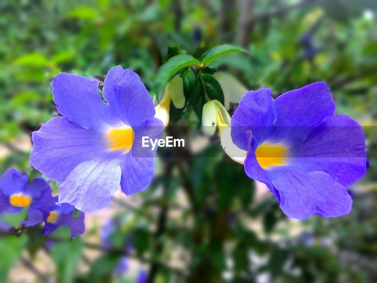 flower, petal, beauty in nature, fragility, nature, flower head, freshness, growth, close-up, day, plant, blossom, pansy, outdoors, selective focus, blooming, purple, no people, springtime, blue, yellow