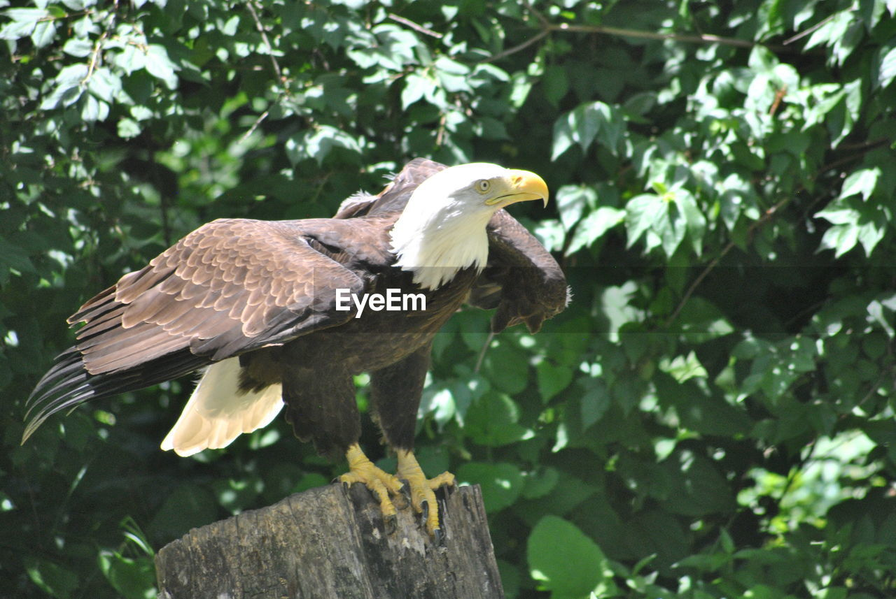 bird, one animal, animal themes, animals in the wild, animal wildlife, bird of prey, perching, tree, eagle - bird, day, bald eagle, no people, outdoors, beak, low angle view, spread wings, nature, full length, branch, close-up