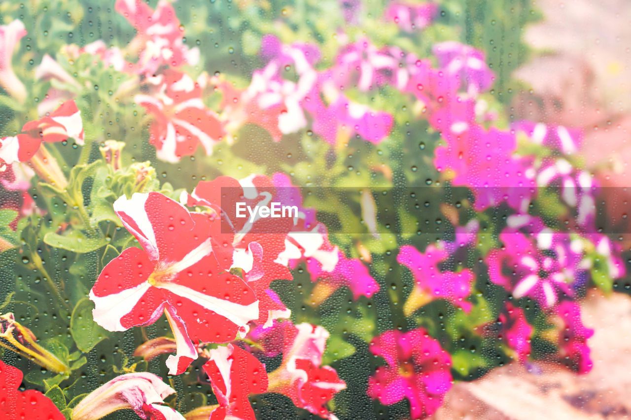 nature, growth, day, pink color, beauty in nature, plant, no people, outdoors, freshness, flower, close-up, fragility, blooming, water, flower head