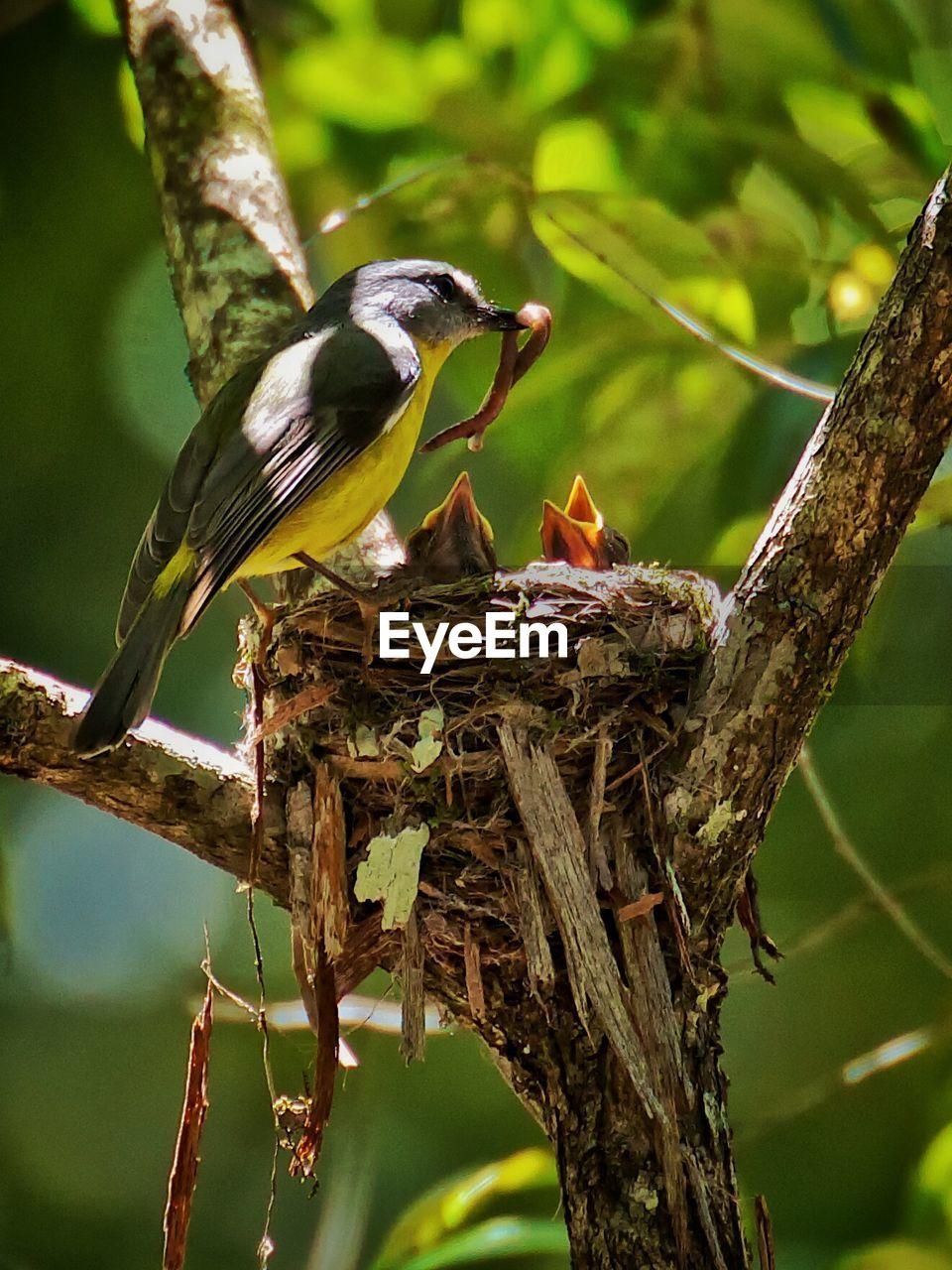 Bird Feeding Young Ones In Nest