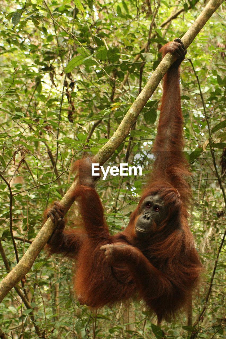 animal themes, primate, mammal, monkey, animal, tree, plant, orangutan, animal wildlife, forest, animals in the wild, ape, vertebrate, nature, land, no people, two animals, group of animals, day, hanging, outdoors, animal family, rainforest, tropical rainforest