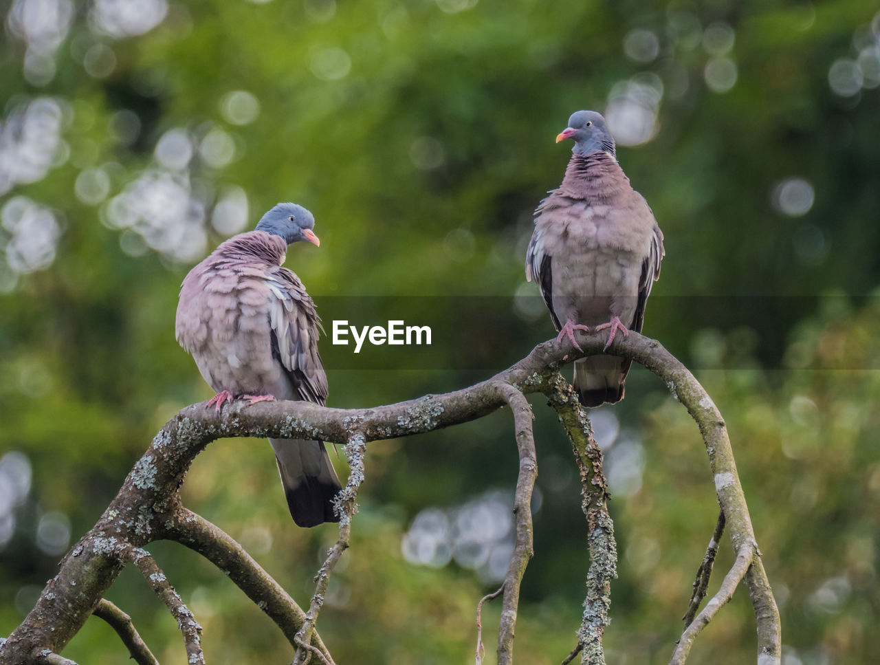 bird, perching, vertebrate, animal, animal themes, animal wildlife, focus on foreground, animals in the wild, tree, group of animals, no people, branch, day, two animals, outdoors, plant, nature, mourning dove, close-up, beauty in nature