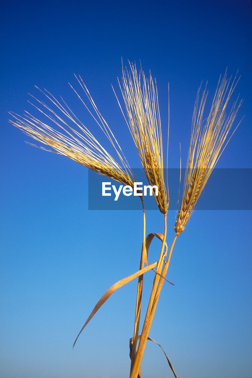 Close-up of wheat against clear blue sky
