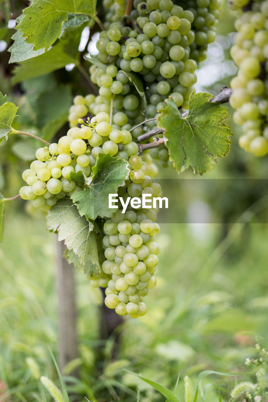 green color, growth, food and drink, plant, food, healthy eating, nature, plant part, leaf, fruit, day, close-up, freshness, focus on foreground, agriculture, no people, beauty in nature, bunch, vineyard, outdoors, unripe, winemaking, plantation