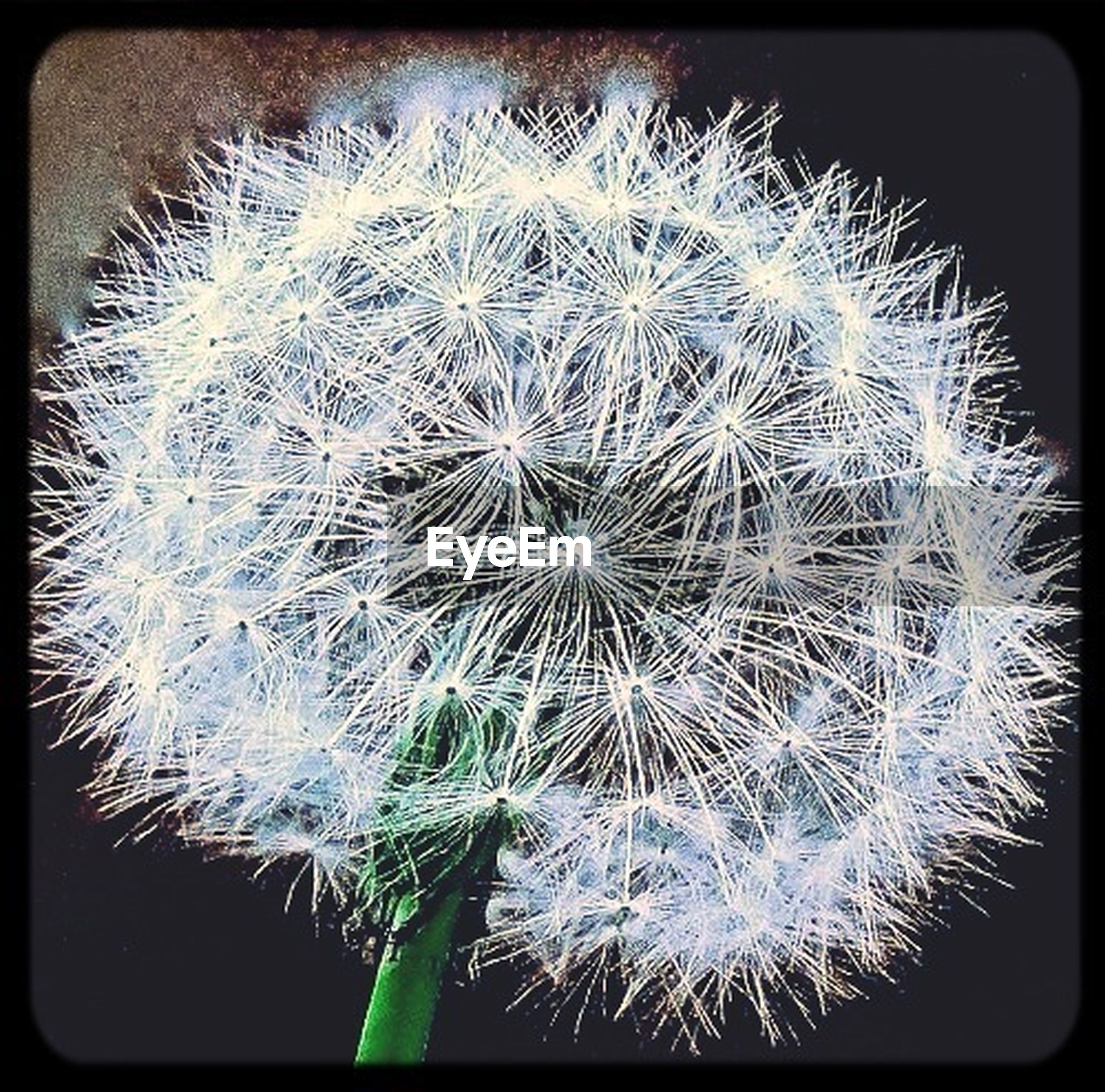 dandelion, transfer print, auto post production filter, close-up, flower, fragility, growth, freshness, flower head, nature, beauty in nature, dandelion seed, single flower, softness, seed, no people, uncultivated, outdoors, focus on foreground, simplicity