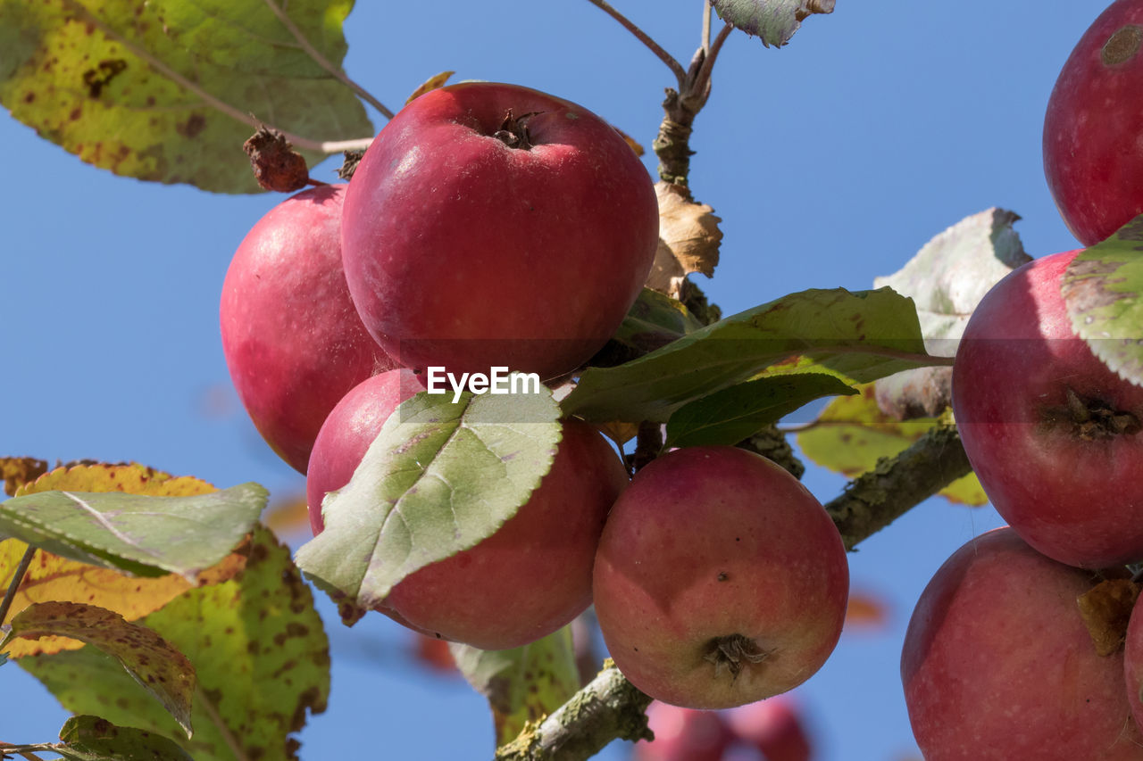 Close-Up Of Apples Hanging On Tree
