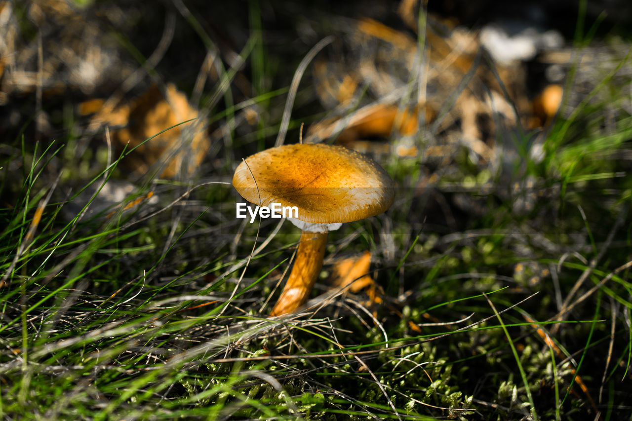 mushroom, fungus, nature, toadstool, growth, beauty in nature, fly agaric, grass, fragility, close-up, freshness, outdoors, tranquility, no people, day, fly agaric mushroom