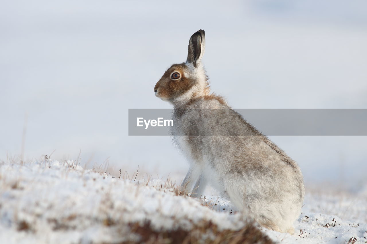 animal, animal themes, one animal, animal wildlife, animals in the wild, vertebrate, mammal, nature, day, land, side view, no people, snow, selective focus, cold temperature, rodent, winter, field, close-up, herbivorous, profile view