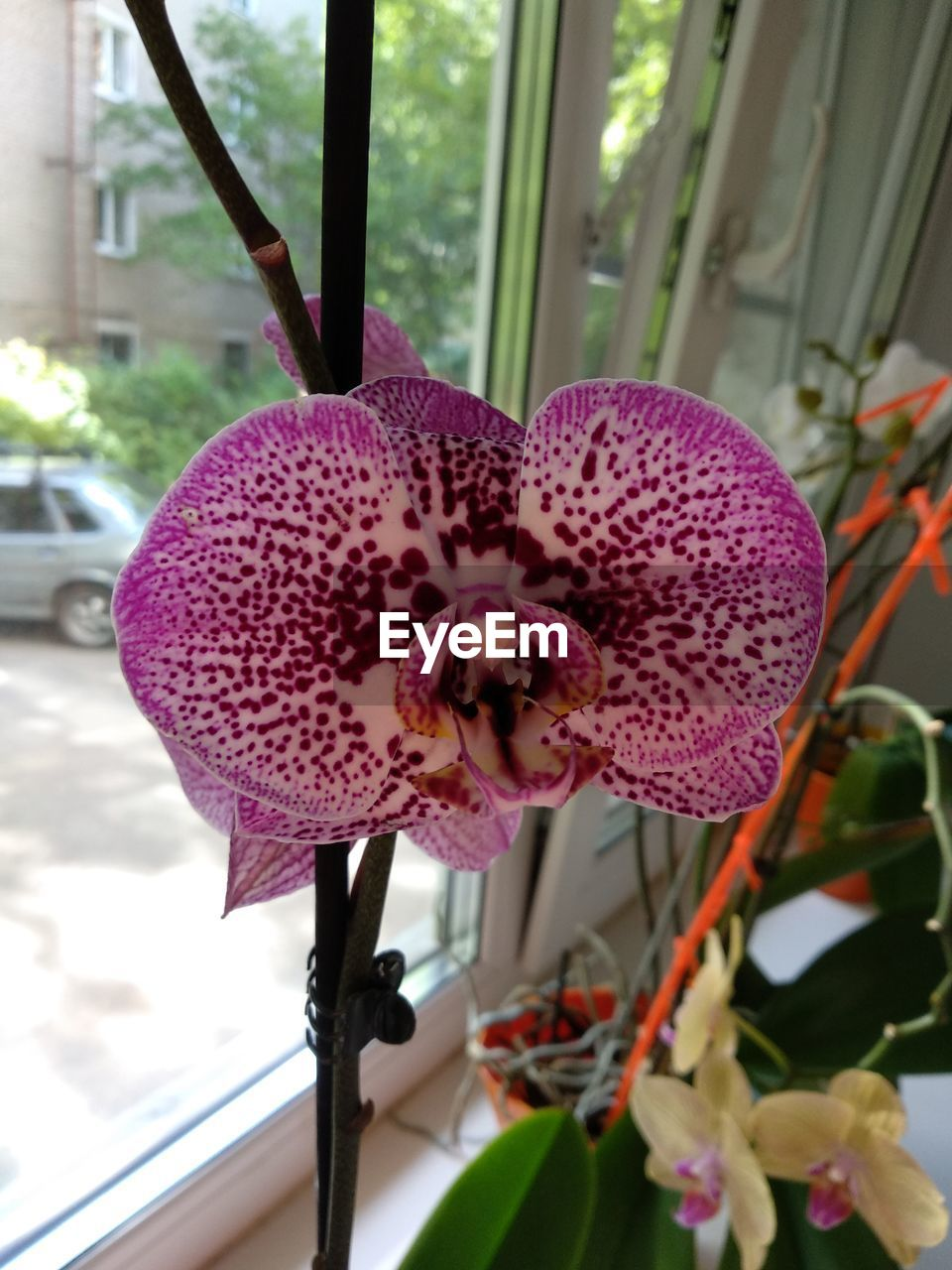 flowering plant, flower, vulnerability, fragility, freshness, beauty in nature, plant, petal, flower head, growth, close-up, inflorescence, pink color, focus on foreground, no people, nature, day, orchid, purple, pollen