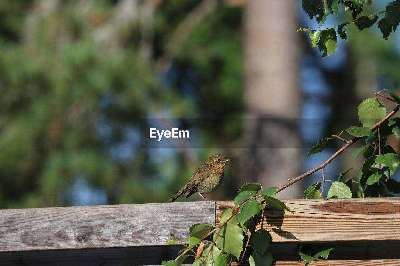 animal, animal themes, one animal, animals in the wild, vertebrate, animal wildlife, bird, wood - material, focus on foreground, perching, day, leaf, plant part, nature, sparrow, no people, outdoors, plant, green color, bench
