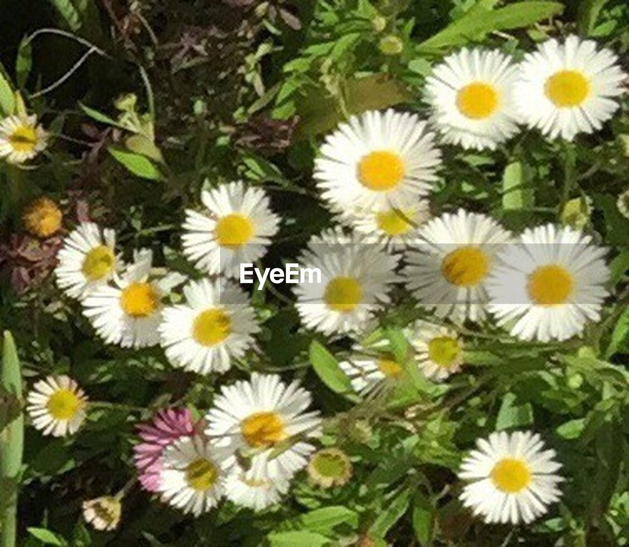 flower, fragility, freshness, daisy, flower head, petal, nature, no people, beauty in nature, high angle view, yellow, day, growth, outdoors, plant, springtime, multi colored, close-up