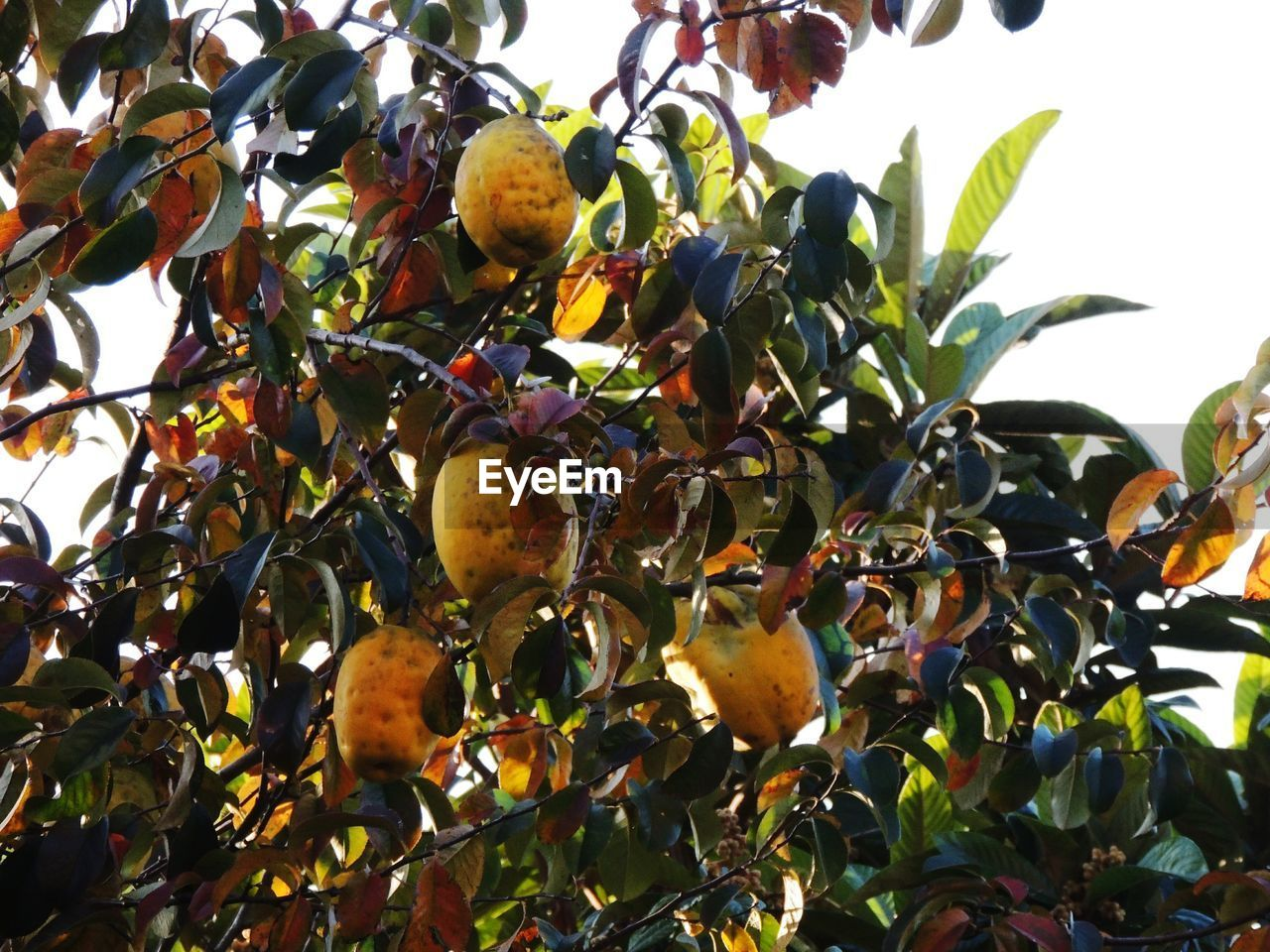 fruit, food and drink, food, leaf, tree, growth, healthy eating, freshness, day, outdoors, no people, citrus fruit, low angle view, nature, branch, beauty in nature, close-up, sky