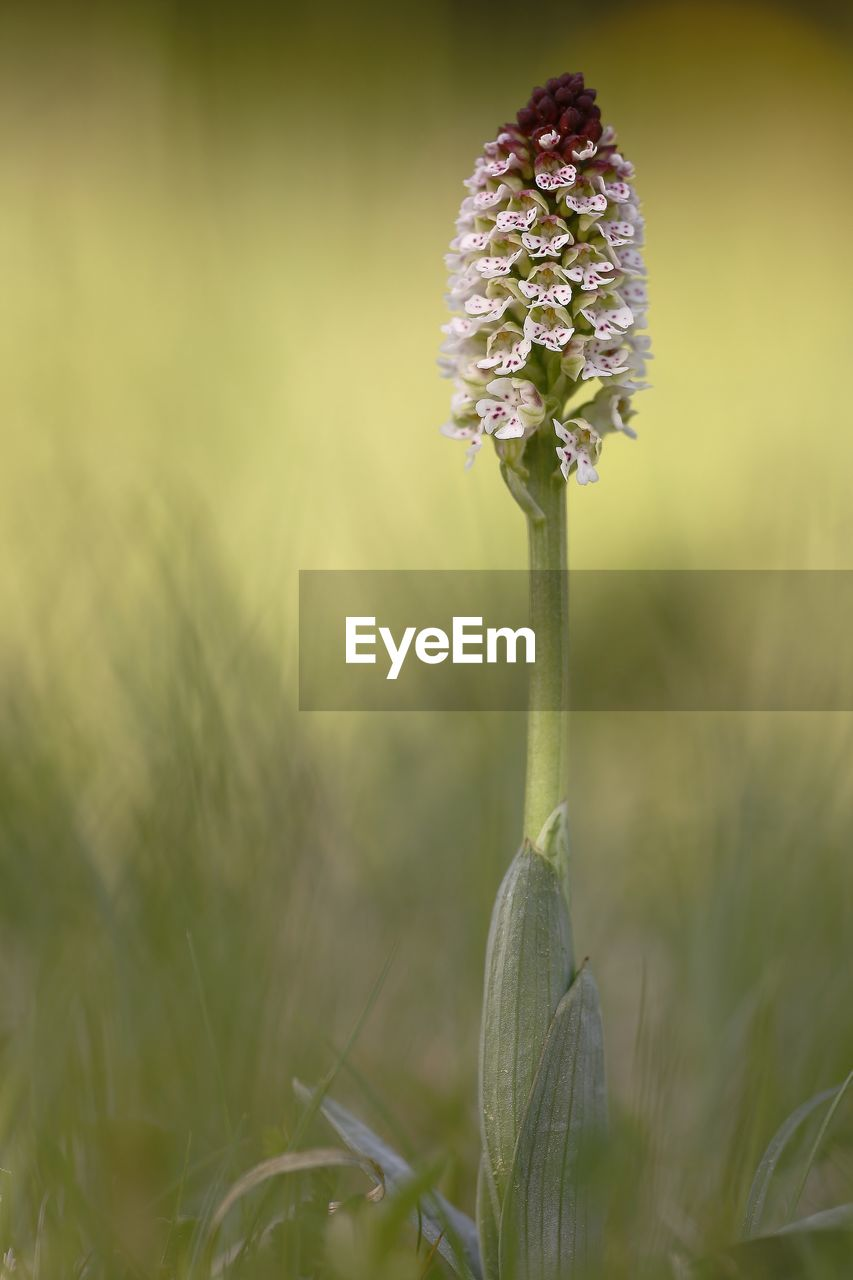 flower, flowering plant, plant, vulnerability, fragility, beauty in nature, freshness, growth, close-up, nature, flower head, focus on foreground, no people, inflorescence, petal, selective focus, day, plant stem, outdoors, botany, purple