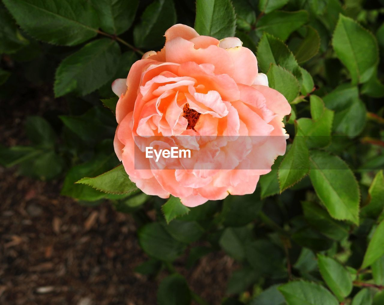 petal, flower, growth, leaf, plant, flower head, nature, beauty in nature, no people, green color, fragility, rose - flower, focus on foreground, pink color, blooming, freshness, close-up, day, outdoors