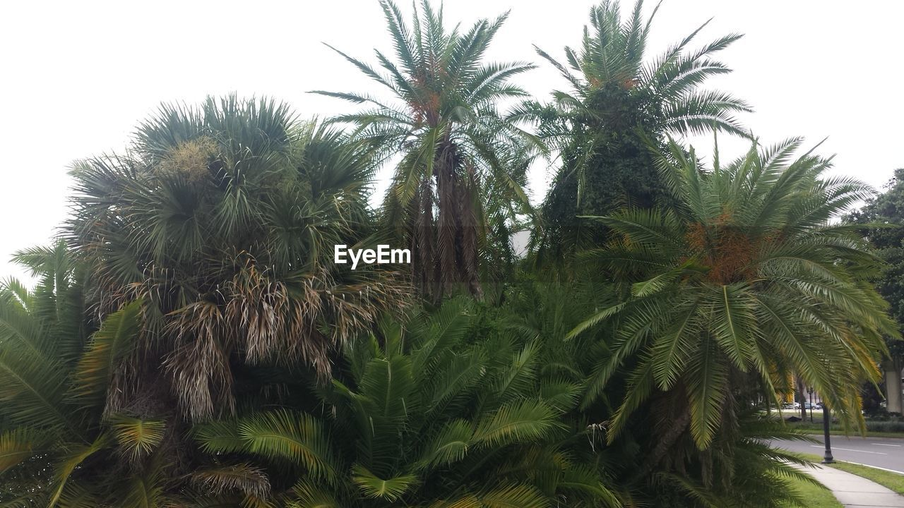 Lush Green Palm Trees Against Clear Sky