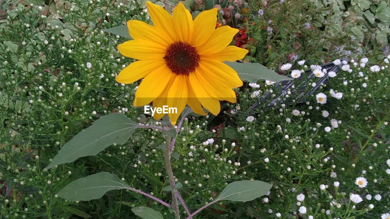 flower, petal, fragility, growth, nature, beauty in nature, yellow, freshness, flower head, plant, blooming, leaf, outdoors, no people, pollen, green color, day, park - man made space, field, springtime, sunflower, black-eyed susan, close-up