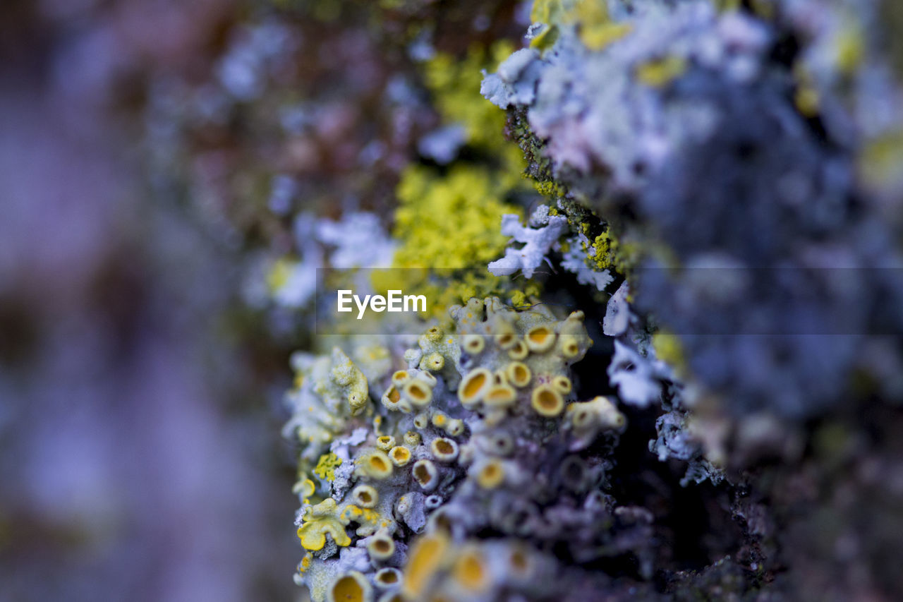 flower, flowering plant, beauty in nature, selective focus, plant, growth, vulnerability, fragility, close-up, freshness, nature, day, no people, lichen, outdoors, flower head, petal, purple, inflorescence, botany