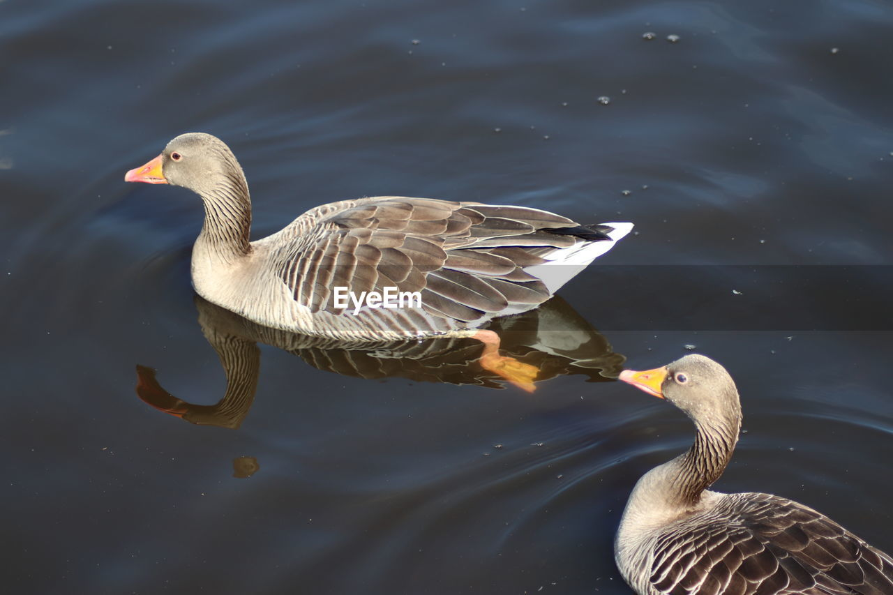 water, vertebrate, bird, lake, animals in the wild, animal themes, animal wildlife, animal, swimming, goose, no people, nature, waterfront, water bird, one animal, day, greylag goose, animal family