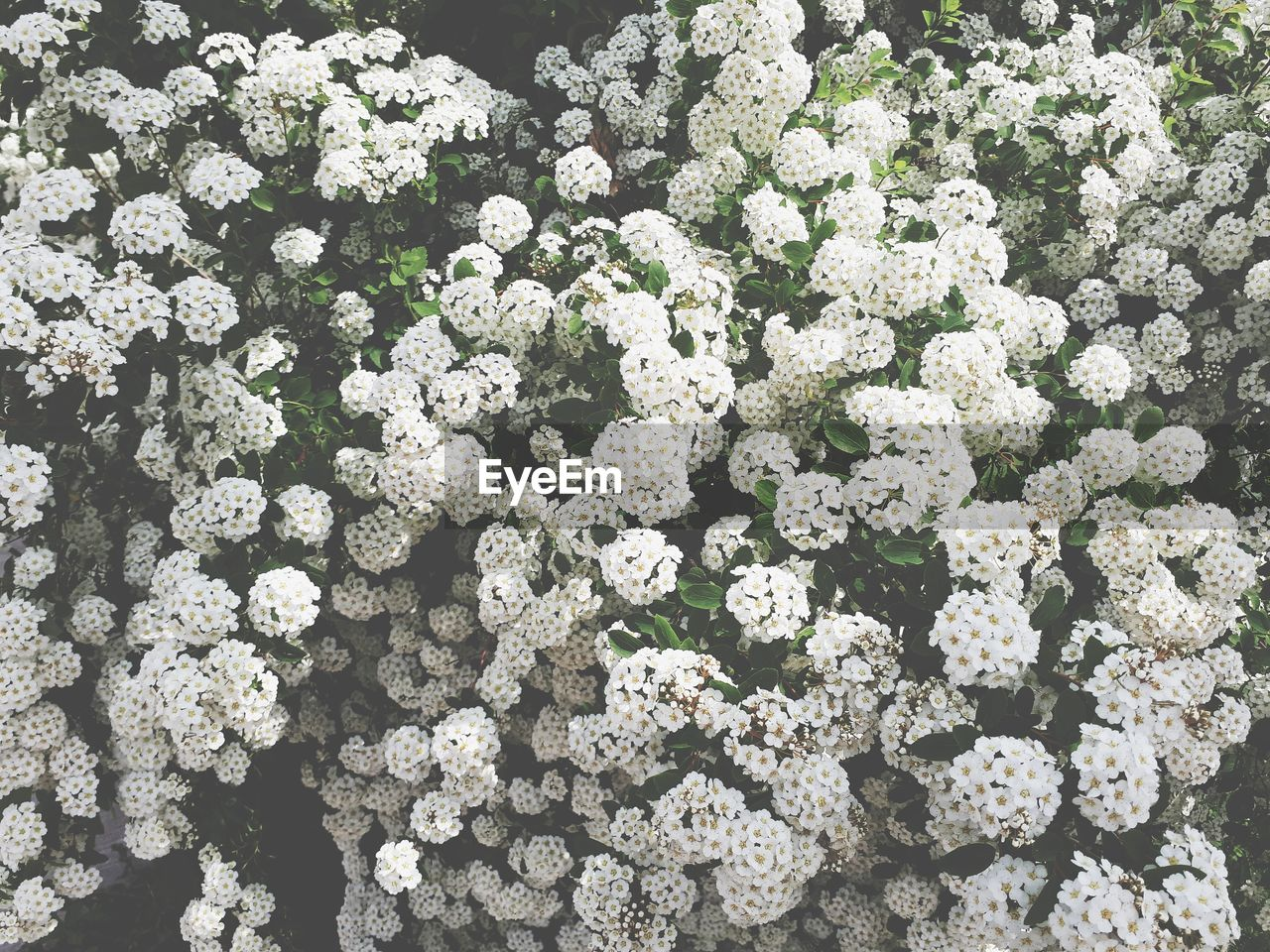 flower, flowering plant, vulnerability, beauty in nature, plant, fragility, nature, white color, no people, day, high angle view, freshness, full frame, flower head, growth, abundance, inflorescence, close-up, outdoors, backgrounds, bunch of flowers, flower arrangement