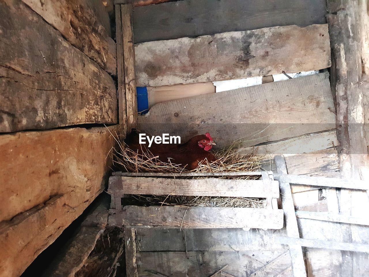 domestic animals, chicken - bird, livestock, no people, architecture, one animal, day, animal themes, built structure, mammal, indoors, bird