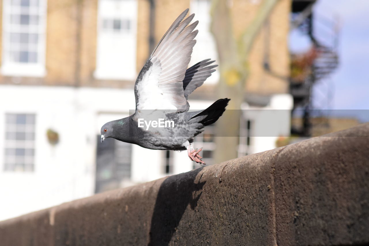 animal wildlife, bird, animal, animal themes, vertebrate, animals in the wild, architecture, one animal, focus on foreground, spread wings, flying, built structure, day, wall, retaining wall, no people, pigeon, outdoors, close-up, seagull