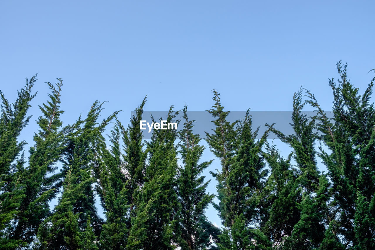 Low angle view of pine trees against blue sky