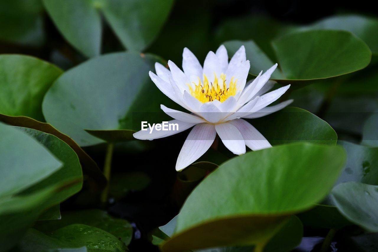 flower, flowering plant, leaf, freshness, beauty in nature, growth, fragility, plant, plant part, vulnerability, petal, close-up, flower head, white color, inflorescence, nature, water lily, pollen, no people, floating on water, lotus water lily, purple, leaves