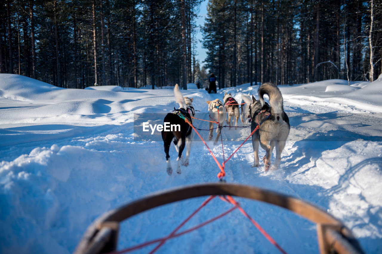 Personal Perspective Of Sled Dogs
