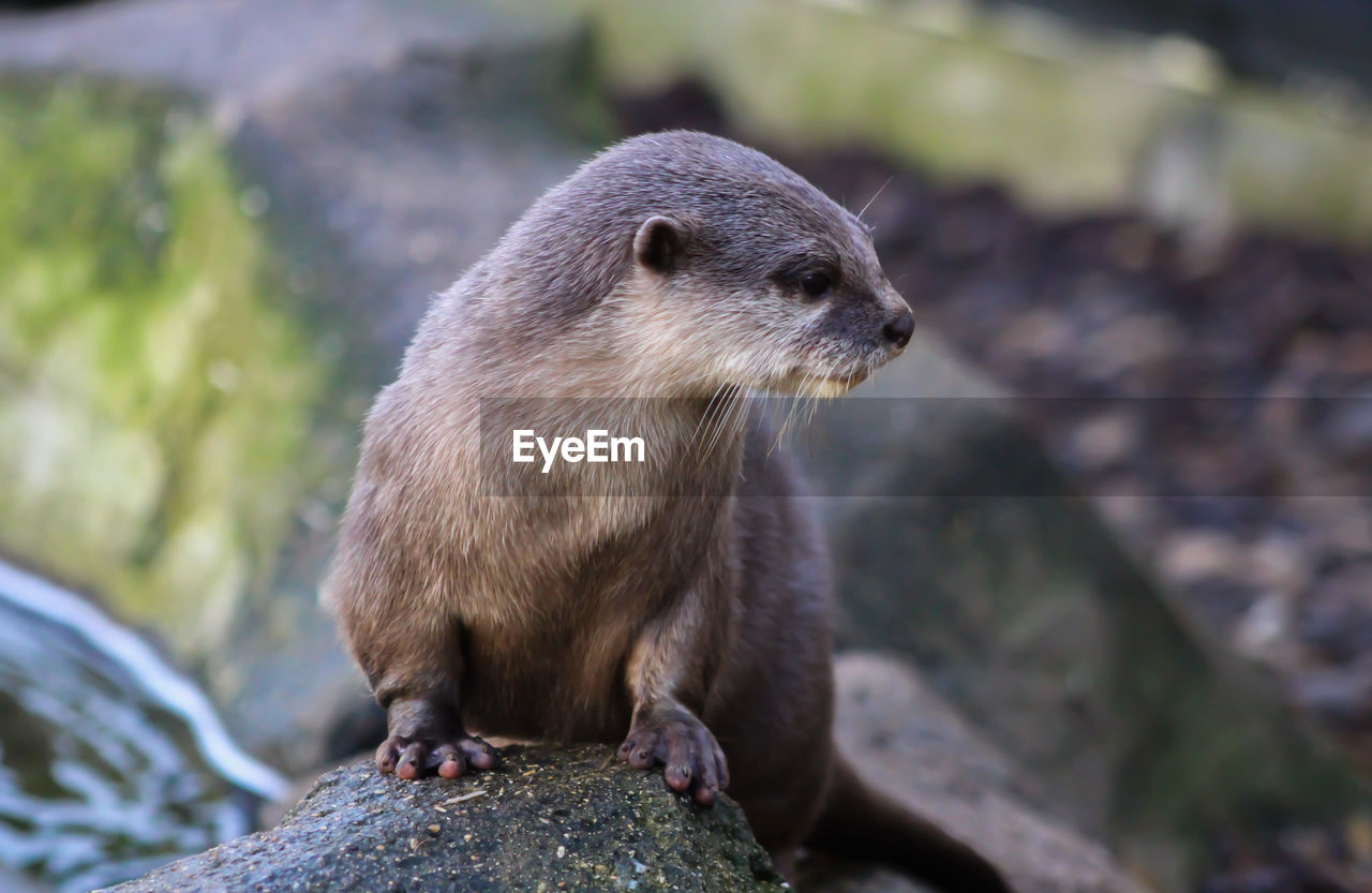 animal themes, animal, animal wildlife, one animal, animals in the wild, mammal, rock - object, rock, solid, focus on foreground, vertebrate, no people, day, nature, close-up, looking, rodent, outdoors, otter, looking away, whisker