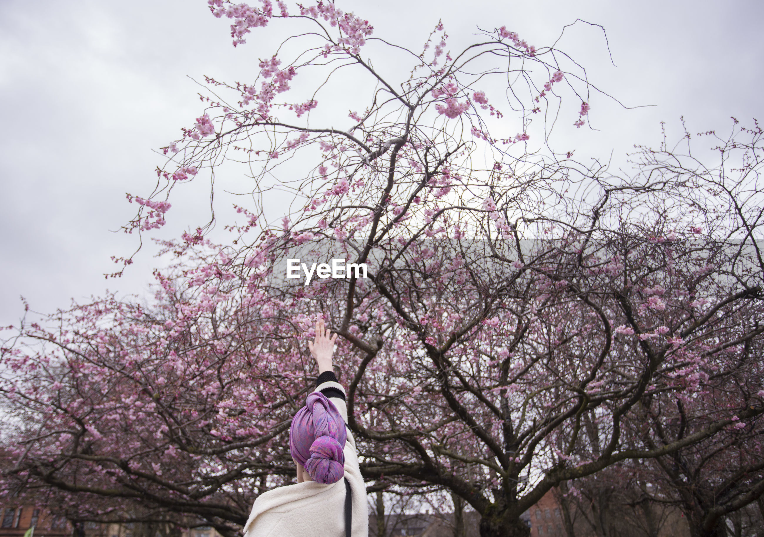 Rear view of woman with hand raised under pink cherry blossoms in park