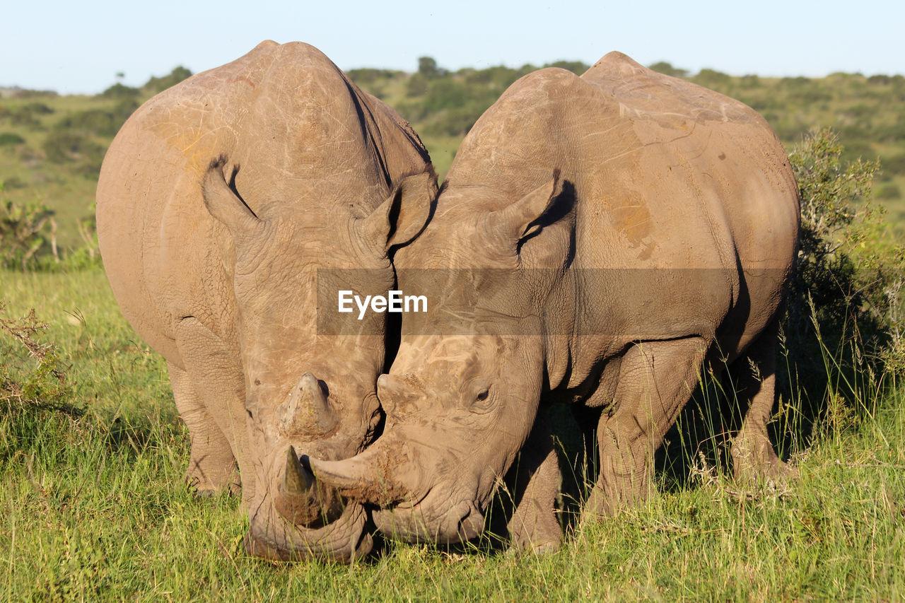 Close-up of rhinoceroses