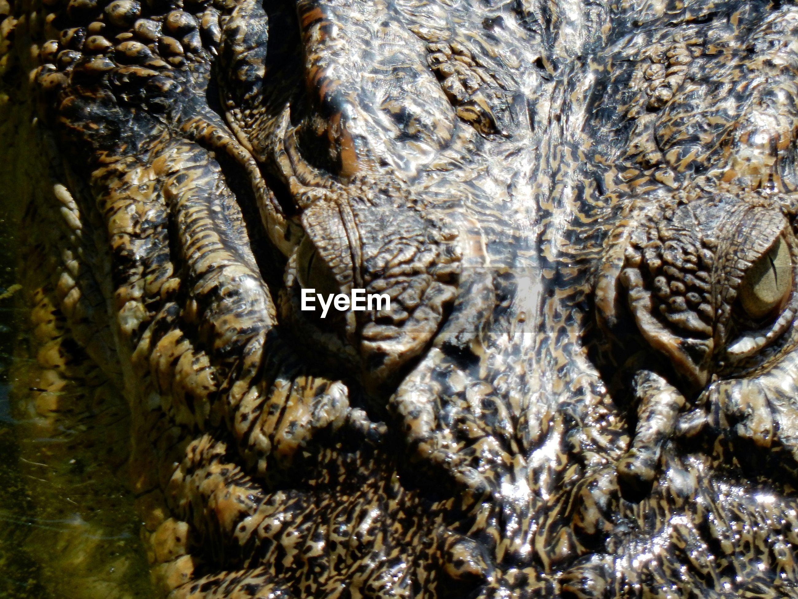 Full frame shot of crocodile eyes