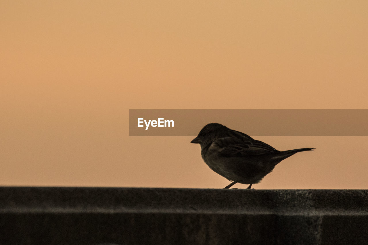 bird, animal themes, animals in the wild, one animal, perching, animal wildlife, copy space, no people, nature, outdoors, close-up, day, sunset, clear sky, sparrow, beauty in nature, sky