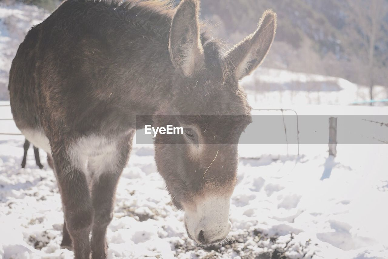 Donkey on snow covered landscape