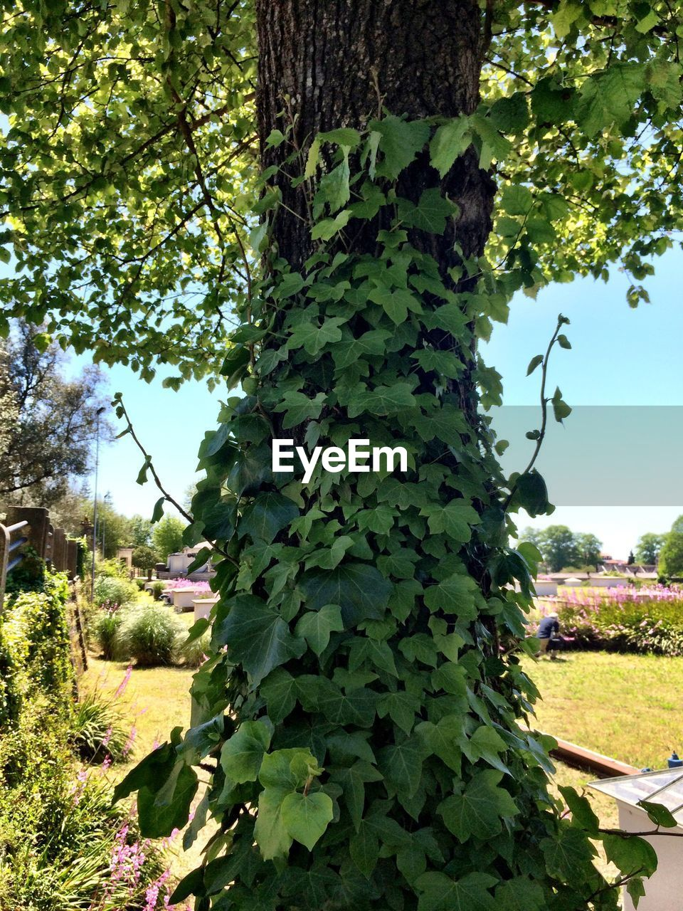 Low Angle View Of Ivy Growing On Tree Trunk At Park