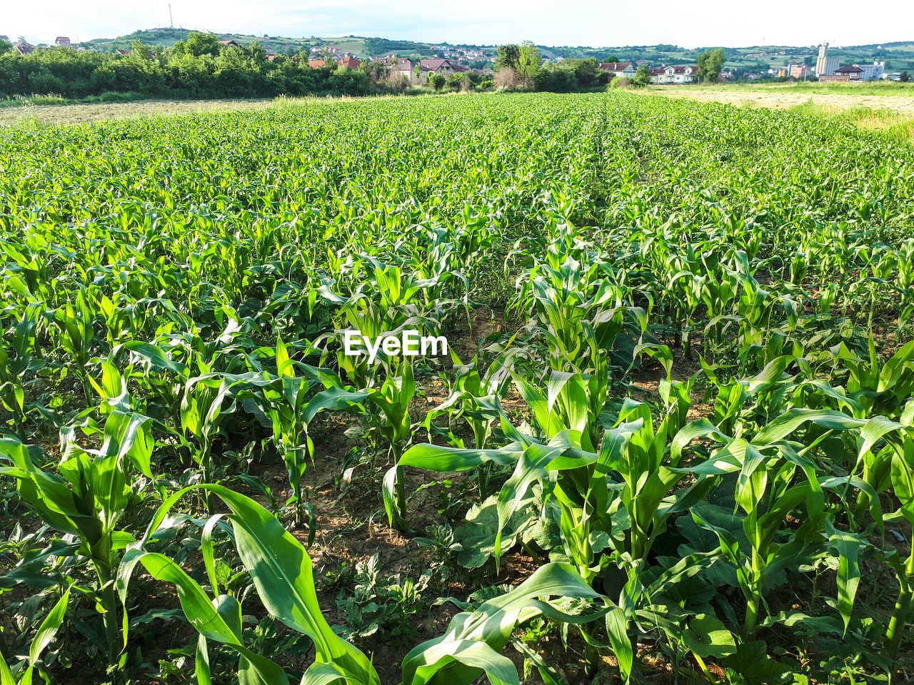 CROPS GROWING ON FARM