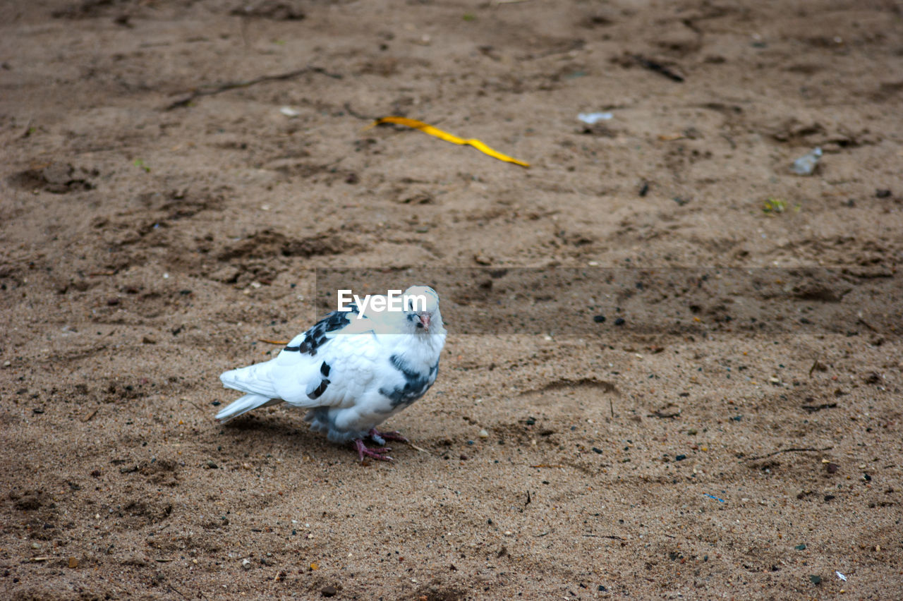 bird, animal themes, one animal, animals in the wild, animal wildlife, day, high angle view, no people, field, outdoors, nature, sand, domestic animals, close-up, perching
