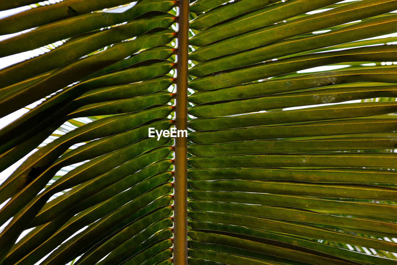 growth, green color, leaf, nature, plant, palm tree, close-up, day, no people, frond, tree, beauty in nature, backgrounds, outdoors, fragility, bamboo - plant, freshness