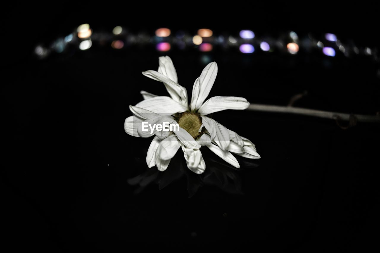 flower, flowering plant, vulnerability, fragility, petal, freshness, plant, beauty in nature, close-up, inflorescence, flower head, white color, night, black background, growth, no people, studio shot, selective focus, nature, pollen