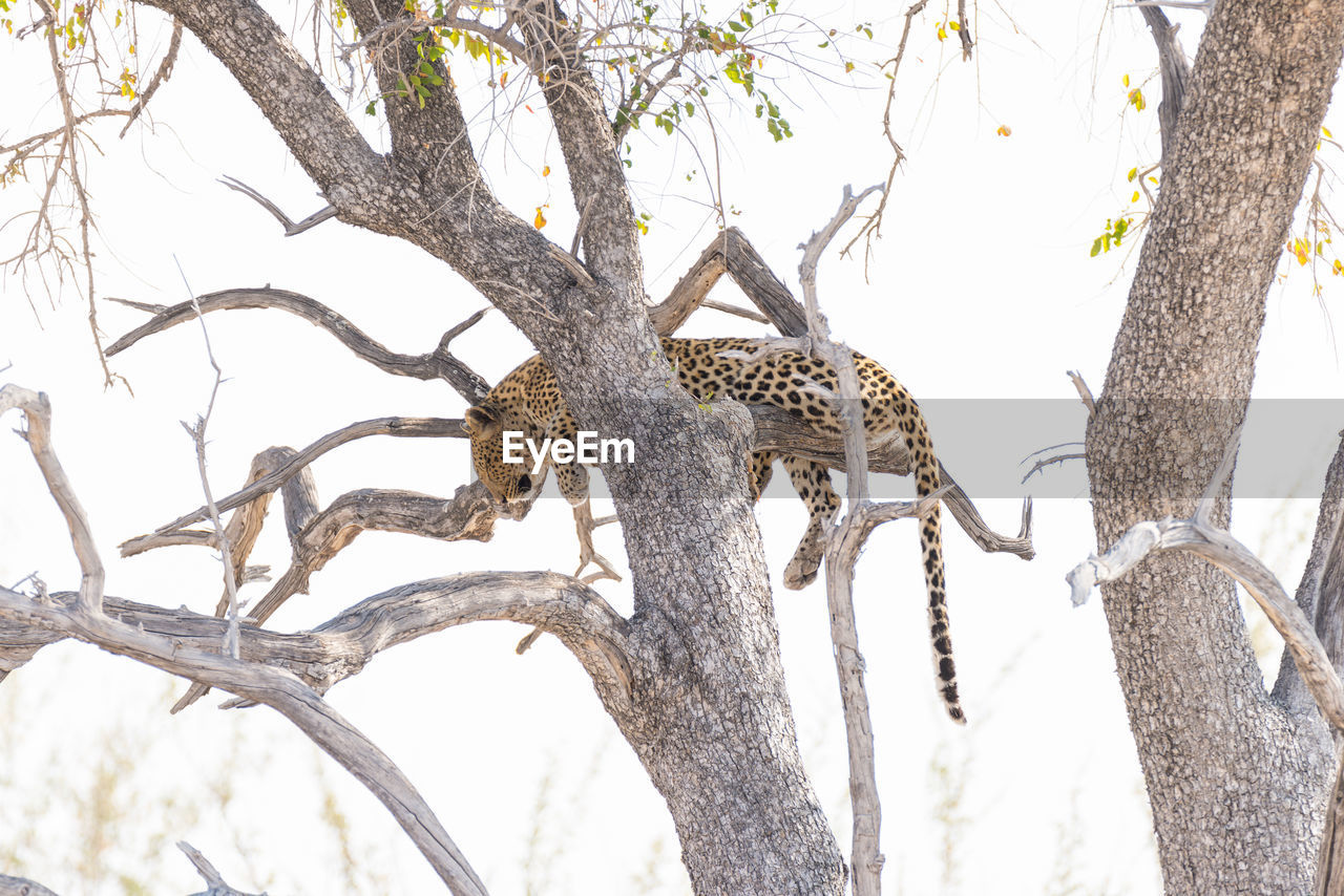 animals in the wild, leopard, animal themes, tree, animal wildlife, one animal, branch, mammal, nature, safari animals, spotted, day, tree trunk, feline, no people, outdoors, animal markings, camouflage, cheetah